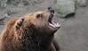 READY (babsbaron) Tags: bär kamschatkabär wildpark raubtier jäger natur