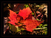 Shades of Autumn in Ypsilanti's North Bay Park (sjb4photos) Tags: michigan ypsilanti washtenawcounty fordlake northbaypark autumn mapleleaf