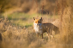 Ive been spotted ( Explored @ 159 ) (raytaylor77) Tags: animal fox hunting longgrass wildlife wildlifeanimal golden nature wild