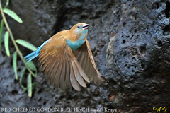 (Species# 1030a) Red-cheeked Cordon Bleu Finch Female - [ Isiolo, Kenya ] (tinyfishy's World Birds-In-Flight) Tags: uraeginthus bengalus