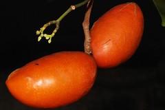 Neisosperma kilneri (andreas lambrianides) Tags: apocynaceae neisospermakilneri australianflora australiannativeplant australianplants australianrainforesttrees threatened kilnersochrosia qrfp arfp largefruitedneisosperma ornateseededneisosperma australianrainforests threatenedspecies australianrainforestfruitsandseeds australianrainforestseeds australianrainforestfruits arffs orangearffs