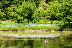WestGH_DSC6026 (Nick Woods Photography) Tags: trees lake water landscape swan pond nt greenery nationaltrust muteswan lakescene waterscape waterreflections westgreenhouse pondscene westgreenhousegarden