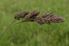 P1020513 (Botterbloom) Tags: nature grass deutschland natur meadow wiese panasonic gras schleswigholstein lumixlf1