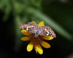 Pyrgus communis, Common Checkered-skipper (tripp.davenport) Tags: tx skipper lepidoptera mission naba pyrguscommunis commoncheckeredskipper hidalgocounty northamericanbutterflyassociation