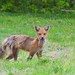 "A 'Mangey"" Red Fox"