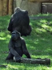 Gorilla Junior (Ulrich Seidler) Tags: animal gorilla picture junior