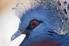 Victoria crowned pigeon (Tambako the Jaguar) Tags: blue portrait bird face switzerland nikon close profile luzern lucerne rothenburg d4 purble victoriacrownedpigeon toniszoo