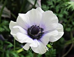 Poppy Flowered Anemone, Anemone coronaria, 'PAS1851', Mona Lisa Blue Bicolor, Longwood Gardens IMG_2703 (Roy and Dolores Kelley Photographs) Tags: gardens pennsylvania pa longwoodgardens kennettsquare