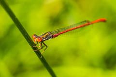 libellule (romainchaffin) Tags: macro sony sigma 60mm marais libellule nex tubesallonges nex6