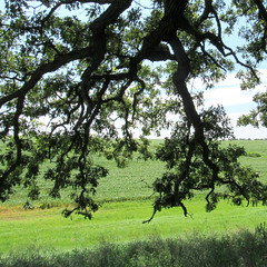 oak branches (quirkyjazz) Tags: oaktree lonetree oldoak thattree plattevillewisconsin