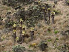 Caldas, Colombia (DAIRO CORREA) Tags: naturaleza del rural amrica colombia campo latina montaa ruiz nevado caldas eje correa patrimonio cafetero suramrica gutirrez dairo ruz