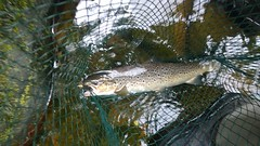 Seatrout (salmoferox) Tags: fish water river scotland fishing seatrout cr catchandrelease catchrelease lurefishing fishinginscotland