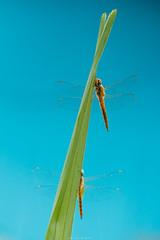 IMG_5819 (Tarek_Mahmud) Tags: dragonfly bangladesh tmp tarek trk mhd tmphotography tarekmahmud trkmhd tarekmahmudphotogtaphy