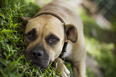Resting (KamrenB Photography) Tags: dog pet green nature grass canon fur thailand outside outdoors 50mm eyes day expression canine pitbull terrier mai lazy rest collar 18 chiang k9 t3i 600d kamgtr kamrenb