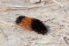 Woolly Bear Caterpillar (driaraingab) Tags: caterpillar blackandbrown brownandblack