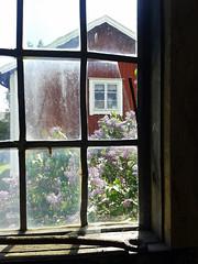 Les lilas sont en fleurs (sosivov) Tags: flowers summer window architecture sweden lilac