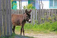 A donkey in the village Caraorman (Lena-H) Tags: donkey romania sna caraorman
