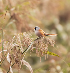 Bearded Tit (steven waddingham) Tags: bird wild nature song