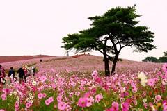 Hitachi park (linwujin) Tags: japan hitachipark flower tree green pine pink fujifilm xt1 xf1655