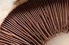 Mushroom gills (John Linwood) Tags: mushroom mushrooms fungi gill gills macro lamella lamellae