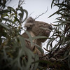 Koala Watchtower (radar oreilly) Tags: sandypoint gum koala trees