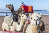 Essaouira-51 (Davey6585) Tags: africa travel wanderlust exotic morocco essaouira mogador westafrica camel camels hump humpday canon canont2i canonphotography