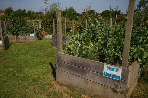 Year 5 - Peas ready for harvest
