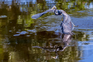 Tri-colored Heron With Small Fish