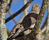 Warmth Of The Sun (ACEZandEIGHTZ) Tags: mourning dove nikon d3200 birdwatcher nature avian zenaida macoura columbidae bird