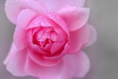 sensuelle (christophe.laigle) Tags: rose soft xf60mm pluie gouttes droplets christophelaigle drops macro waterdrops pink sensuelle fuji délicatesse beauté nature xpro2 fleur flower queenrose
