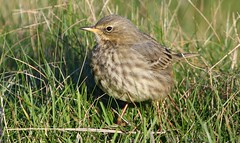 Meadow Pipit 050117 (5) (Richard Collier - Wildlife and Travel Photography) Tags: birds wildlife naturalhistory british meadowpipit naturethroughthelens
