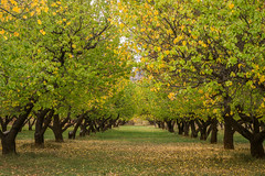 Orchard in Capitol reef National Park (Lisa Thompson2011) Tags: orchard fall
