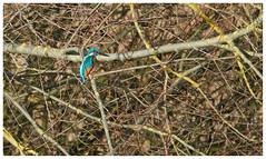 Kingfisher In Tree. (vegetus aer) Tags: woodwaltonfen greatfen greatfenproject wildlifetrust bcnwildlifetrust nnr cambridgeshire wildlife rx10m3 kingfisher
