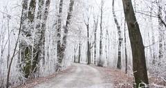 white silence (**MIKA**) Tags: bayern straubing frost rauhreif buchen forstweg bayrischerwald bavarian forest