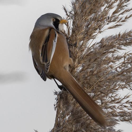 (055) Bird - Bearded Tit (Reedling) - Oulton Marshes