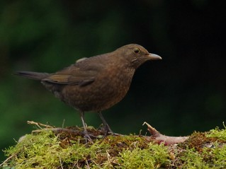 female black bird (1)