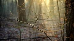 A branch and a light (pszcz9) Tags: poland polska przyroda nature natura gałąź branch światło light las forest forestimages bokeh beautifulearth sony a77 mgła mist fog zbliżenie closeup