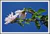 Rose of Sharon in an Ypsilanti, Michigan Garden (sjb4photos) Tags: michigan ypsilanti washtenawcounty