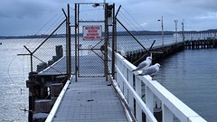 Gulls denied access (Ross Major) Tags: gulls seagulls water port phillip bay