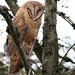 Barn Owl (Eric_Z) Tags: barnowl tytoalba bccanada