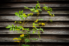 Weathered Wood & Vine (DT's Photo Site - Anderson S.C.) Tags: canon 6d 24105mml lens country roads barn farm vintage vanishing ivy rural wood rustic shed