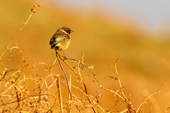 Stonechat (Explored 9 January 2017) (ABPhotosUK) Tags: animals birds bokeh canon chatsandthrushes dartmoor devon ef100400mmisii eos7dmarkii saxicolatorquata seasons smeardondown stonechat turdidae wildlife winter