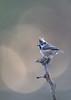 Crested tit (Mike Mckenzie8) Tags: lophophanes cristatus scottish scotland highland cairngorm british uk wild wildlife bird pine tree forest silhouette bokeh lichen light