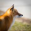 Red Fox (www.JudyLindoPhotography.com) Tags: fireislandnationalseashore fox fins photography judylindophotography newyork fireisland redfox longisland judylindo