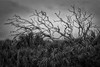 Dead Trees and Palms (Mike Schaffner) Tags: bw blackwhite blackandwhite deadtrees monochrome palms trees galveston texas unitedstates us