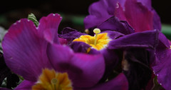 09-IMG_8529 (hemingwayfoto) Tags: balkon blühen blüte blume botanik flora frühblüher frühling frühlingsprimel garten gartenblume gewächs gewächshaus macro natur panther pflanze primel primulaveris violett zucht