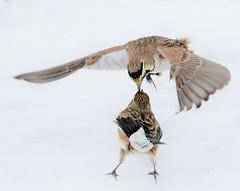 You're pulling my hair (Jeannine St. Amour) Tags: bird hornedlark fight nature wildlife