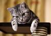 King Of The Castle! (od0man) Tags: teddy cat kitten britishshorthair silvertabby domestic feline canonef100mmf28lisusmmacro