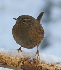 _Q8A3500PrelimPWSmall (birdbug3) Tags: troglodytes pacificus