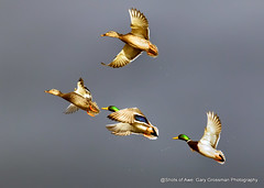 Beat To Quarters (Gary Grossman) Tags: mallards ducks drakes hens garygrossmanphotography waterfowl wetlands wildlife wild wildlifephotography winter clouds sunspot sunny flight takeoff marsh ridgefield nationalwildliferefuge birds birdsinflight pacificnorthwest washington nature natural beauty beautyinnature